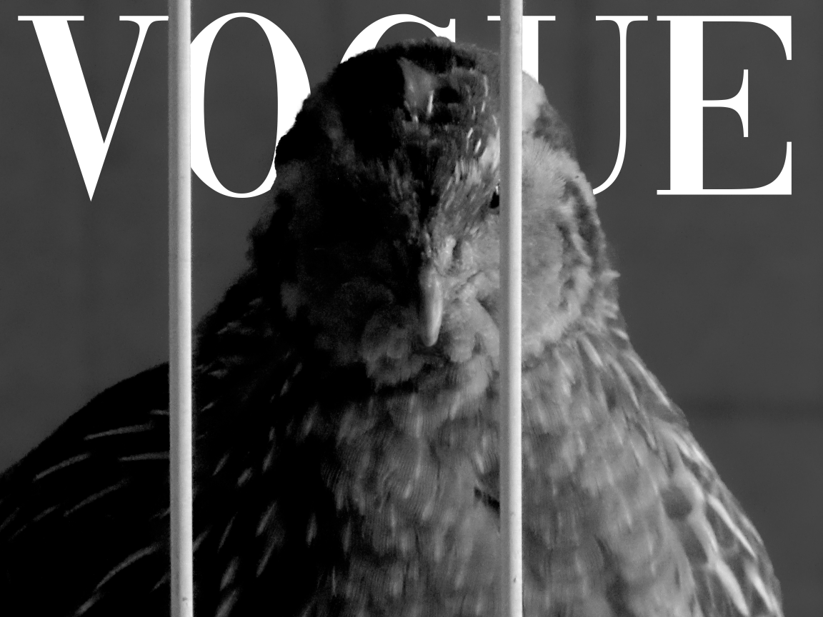 My pet quail Nugget as a Vogue model
